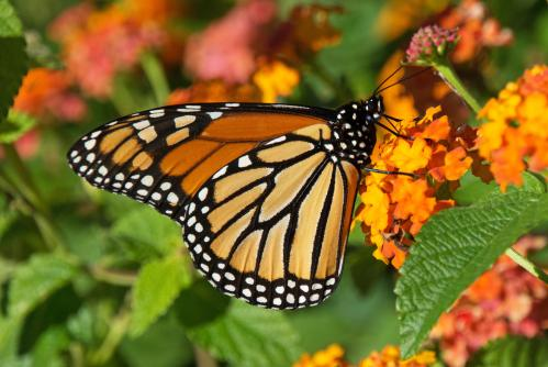 A monarch in downtown Raleigh, October 8, 2014