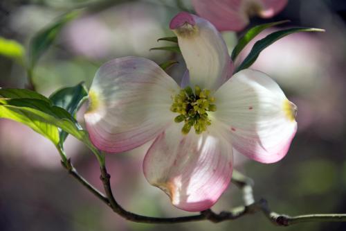 Dogwood at Duke Gardens, April 12, 2015
