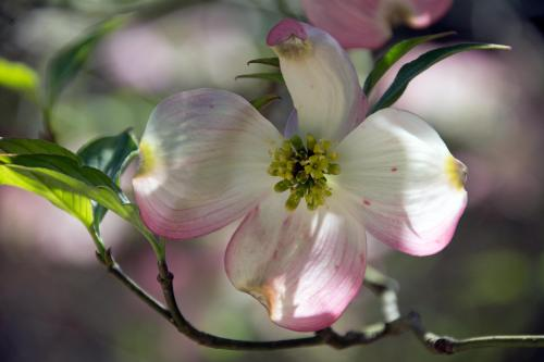 Dogwood at Duke Gardens, April 12, 2015