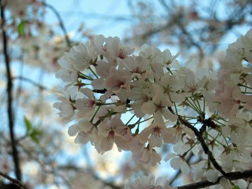 Cherry blossoms on Lane Street