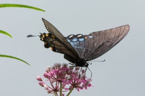 RTillerbutterfly (1 of 1)-4