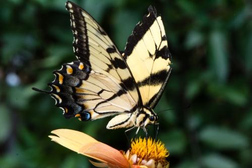 RTillerbutterfly (1 of 1)