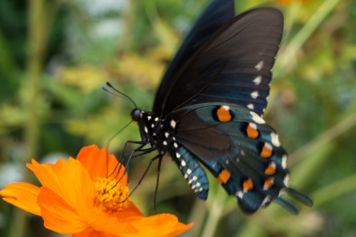 A spicebush swallowtail at Ralston Arboretum on September 11, 2015
