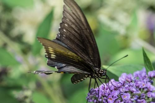 Raulston butterfliesBug 1