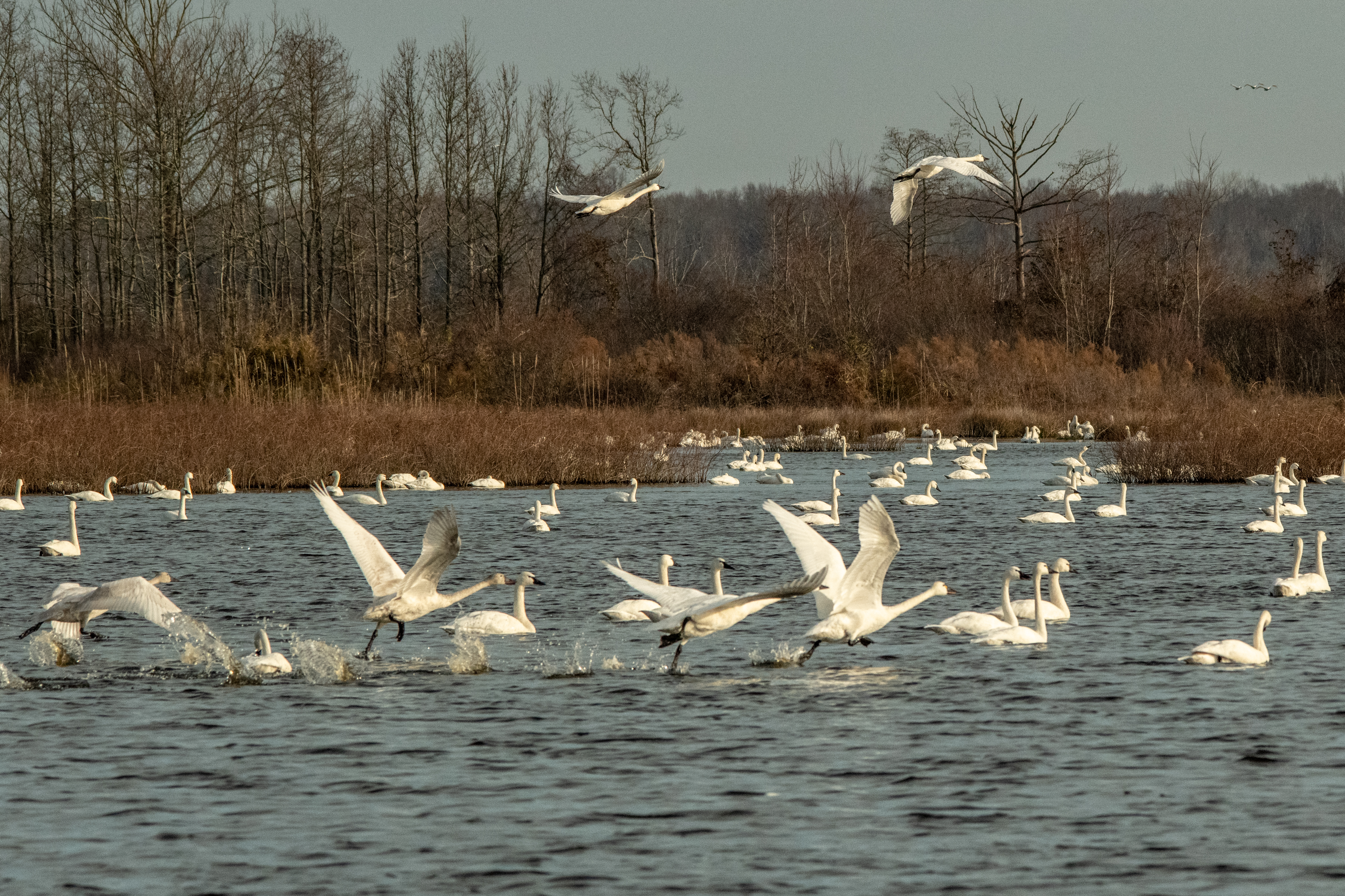 Snow geese and tundra swans, Roman history, and another