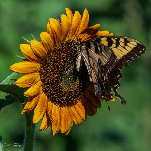 Sunflowers-0293