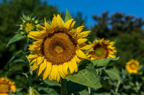 Sunflowers-0320