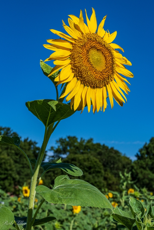 Sunflowers-0330