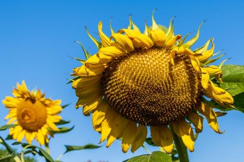 Sunflowers-0431