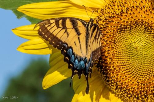 Sunflowers-0466