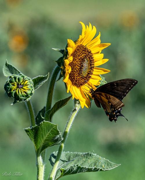 Sunflowers--2
