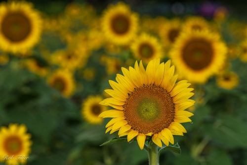 Sunflowers-4374