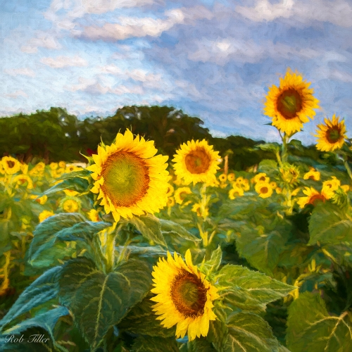 Sunflowers--6