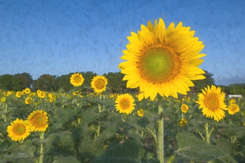 Sunflowers--7.jpg
